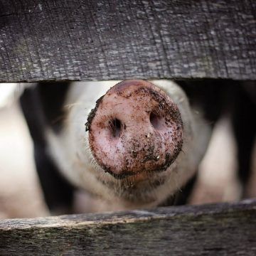Horóscopo chino 2019: El año del Cerdo
